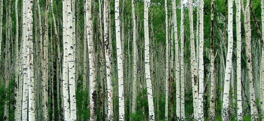 Colorado-Aspen-Trees-Photo-By-Four-Seasons-RV-Park-01-870x400